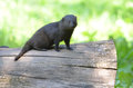 Dwarf mongoose on a log sits small Stock Photos