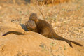 Dwarf mongoose pair Royalty Free Stock Photo