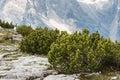 Dwarf mountain pine shrubs growing in dolomites Stock Photography