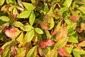 Dwarf Nandina Shrub Stock Photography