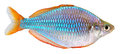 Dwarf Neon Rainbow fish Royalty Free Stock Photos