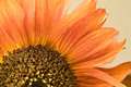 Dwarf orange sunflower petals and seeds detail Royalty Free Stock Photo