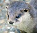 Dwarf otter 1 Stock Photo