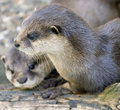 Dwarf otter 3 Royalty Free Stock Photo