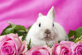 Dwarf rabbit with pink roses Royalty Free Stock Photo