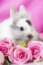 Dwarf rabbit with pink roses and pink background Royalty Free Stock Photo