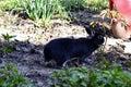 Dwarf Rex Rabbit Royalty Free Stock Photo