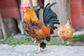 Dwarf rooster and his chick Royalty Free Stock Photo