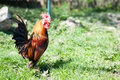 Dwarf rooster posture Royalty Free Stock Photo