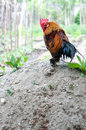 Dwarf rooster Royalty Free Stock Photo