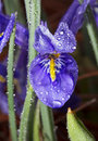 The dwarf siberian iris with drops of dew. Stock Photography