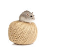 Dwarf Winter White Hamster Stock Photography