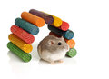Dwarf winter white hamster and colourful wooden tunnel Stock Images