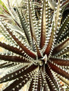 Dyckia cactus or cherry foster Stock Photo