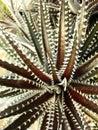 Dyckia cactus or cherry foster Stock Photo