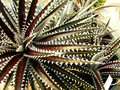 Dyckia cactus or cherry foster Stock Photography