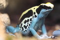 Dyeing dart frog Royalty Free Stock Photo