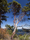 Dying arbutus tree a pacific madrona photographed on the coast of southern british columbia Royalty Free Stock Photos