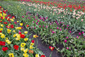 Dying dutch tulips long beds with spring in the rain day Royalty Free Stock Photography
