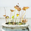 Dying lotus in a temple Stock Photography