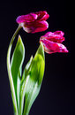 Dying tulips on dark bacground Royalty Free Stock Images
