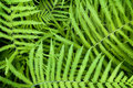 Dynamic Fern Royalty Free Stock Photo