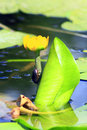 Dytiscidae on the flower of Nuphar lutea Royalty Free Stock Photo