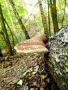 Dzika pieczarka na drzewie Zdjęcia Stock