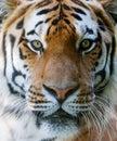 Dziki twarz tygrys Obraz Royalty Free