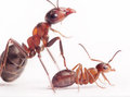 Each new born ant has nurses and mentors formica rufa Stock Photos