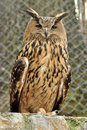 Eagl owl Royalty Free Stock Photo