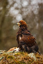 Eagle with catch. Golden Eagle, Aquila chrysaetos, bird of prey with kill red fox on stone, photo with blurred orange autumn fores Royalty Free Stock Photo