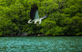 Eagle eating on the fly feeding eagles while traveling by boat langkawi archipelago Royalty Free Stock Photos
