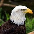 Eagle eye a young eaglet stares at me ever watchful Royalty Free Stock Photo