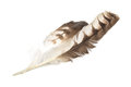 Eagle feather isolated Royalty Free Stock Photo