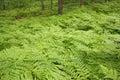 Eagle ferns foliage Royalty Free Stock Photo