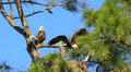 Eagle in flight american bald flying from nest a pine tree florida nd remains on guard at the nest with one chick visible Stock Photos