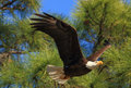 Eagle in flight american bald flying past a pine tree florida Stock Photos