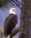 Eagle framed by flora. Stock Photography
