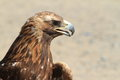 Eagle a golden of mongolia Royalty Free Stock Image