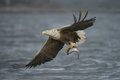 Eagle hunting a male white tailed carrying a very large coalfish which he has just caught Royalty Free Stock Photos