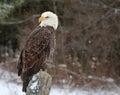 Eagle looking back calvo Imagens de Stock