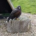 Eagle in Muiderslot Muiden castle in Muiden, Noord-Holland, Netherlands. Royalty Free Stock Photo