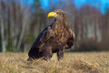 Eagle in the nature habitat. White-tailed Eagle, Haliaeetus albicilla, sitting in the old marsh grass, birch tree forest in the ba Royalty Free Stock Photo
