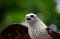 Eagle with open beak and wings singapore september a ferocious brown a white breast the s is are extended Royalty Free Stock Images