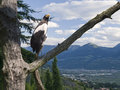 Eagle over the valley on a branch in background merano in south tyrol with mountains in summer image mounting Stock Photos