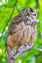 Eagle owl 2 Stock Photos