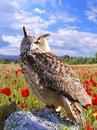 Eagle Owl. Royalty Free Stock Photography