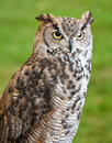 Eagle owl against a grassy background Royalty Free Stock Image