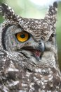 Eagle Owl Angry Royalty Free Stock Photos